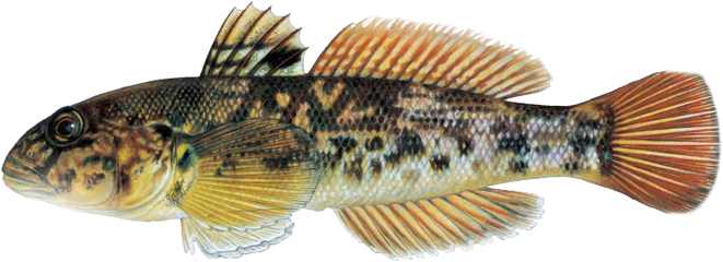 round goby species profile ontario federation of